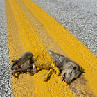 Opossum painted over by county road striping crew.
