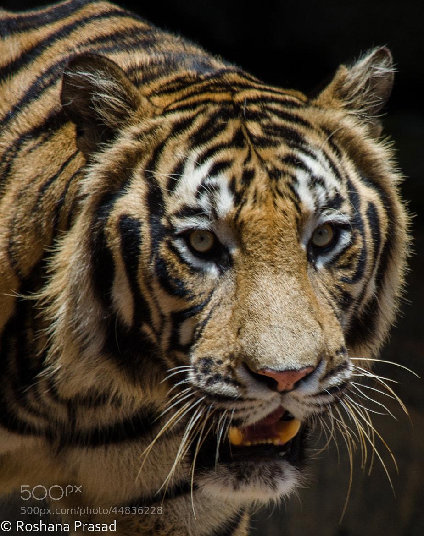 Photograph Bengal tiger by Roshana Prasad on 500px