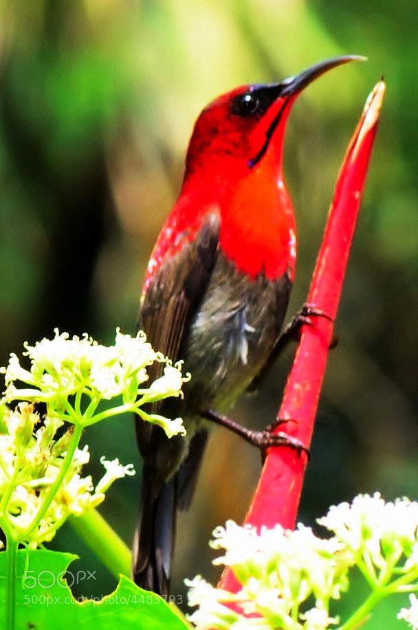 Photograph Nectar Sucking Bird by David N  Chai on 500px