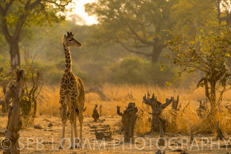 Photograph South Luangwa Young Giraffe by Seb Loram on 500px