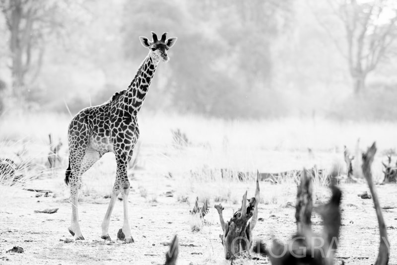 Photograph South Luangwa Giraffe B&W by Seb Loram on 500px