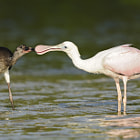 Immature White Ibis and Roseate Spoonbill