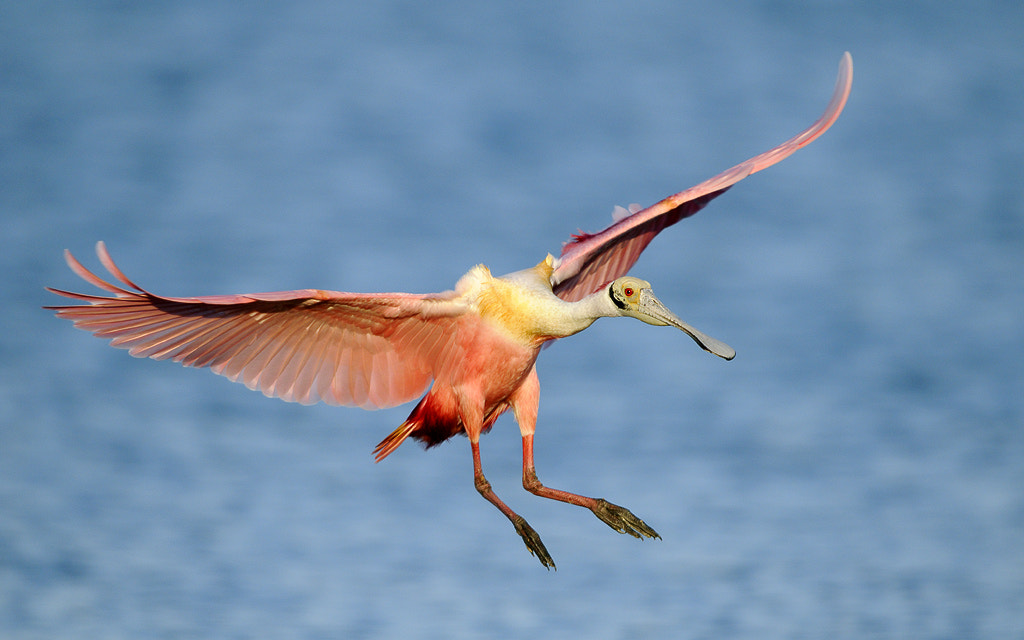 Photograph Roseate Spoonbill Landing III by James Shadle on 500px