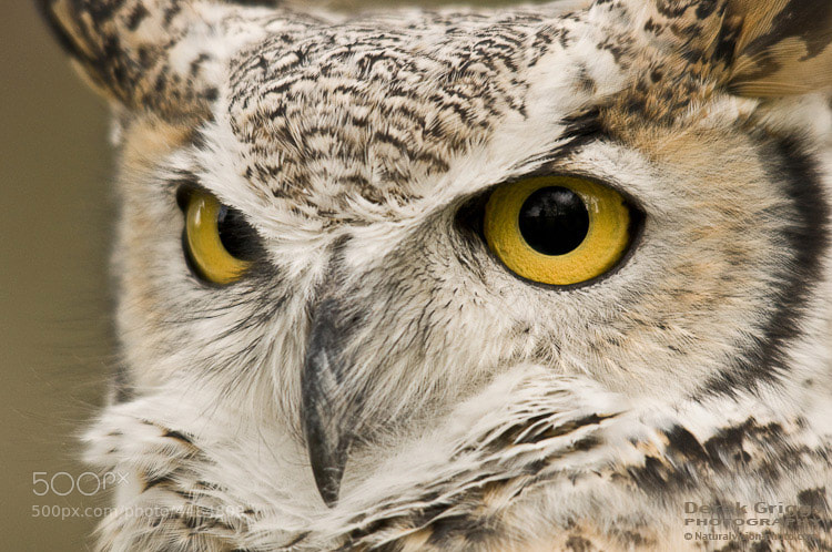 Photograph Great Horned Owl by Derek Griggs on 500px