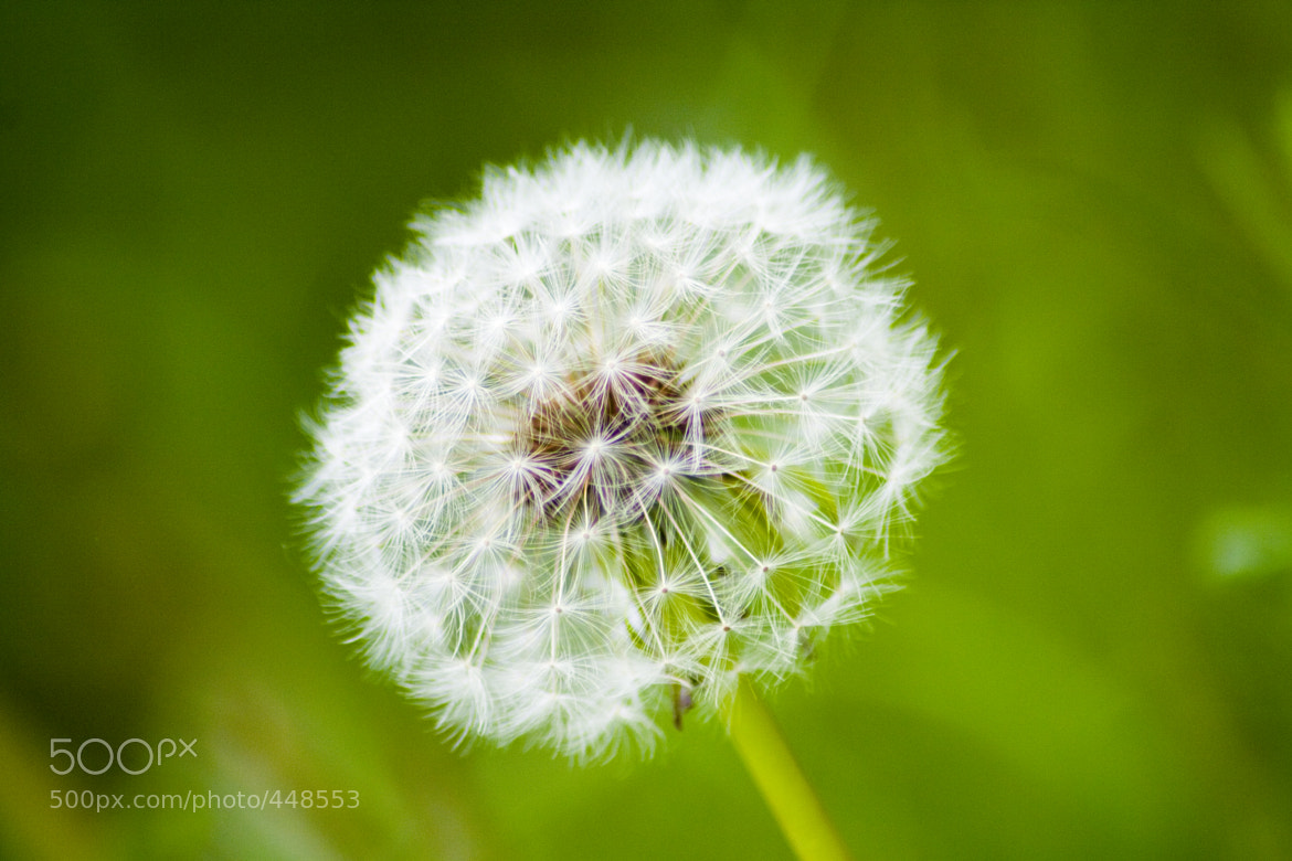 Photograph dandelion in green by Sebastian ¿? on 500px
