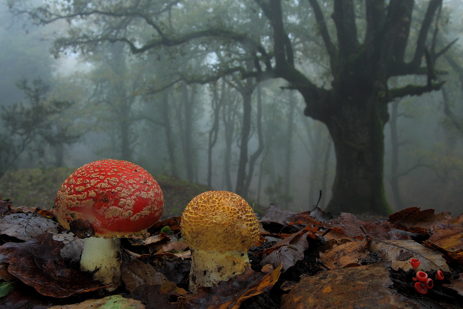 Photograph Fly agaric by Andrés Miguel Domínguez on 500px