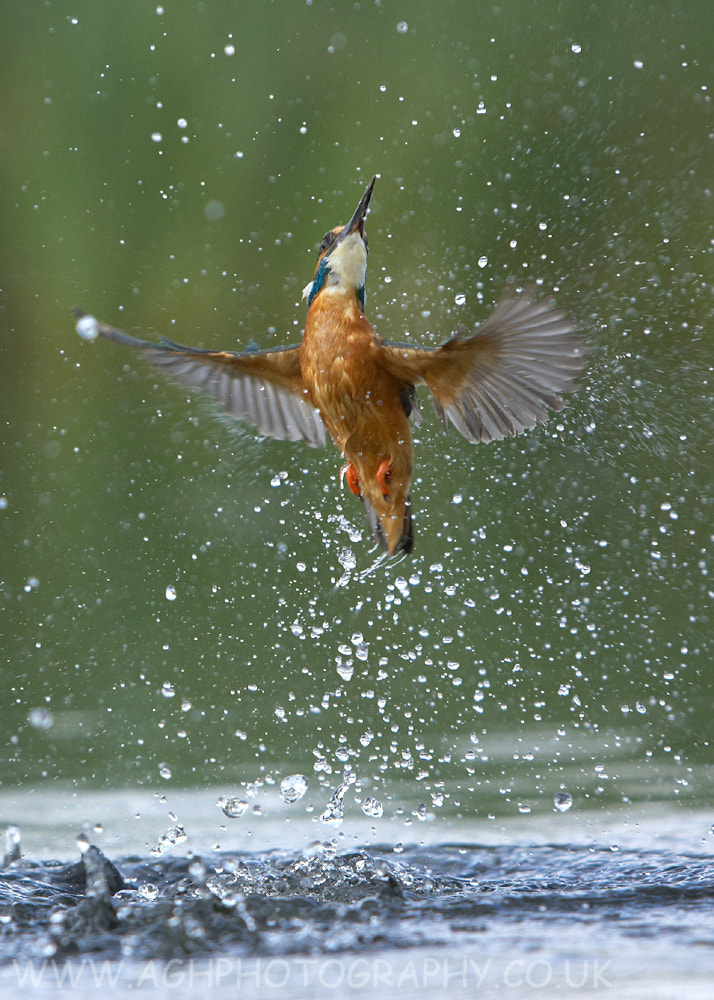 Photograph Erupting Kingfisher by Tony House on 500px