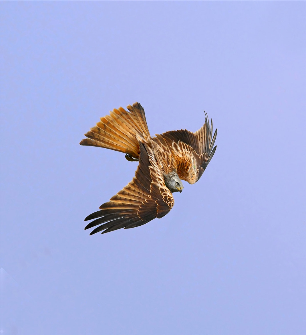 Photograph Red Kite by John Robinson on 500px