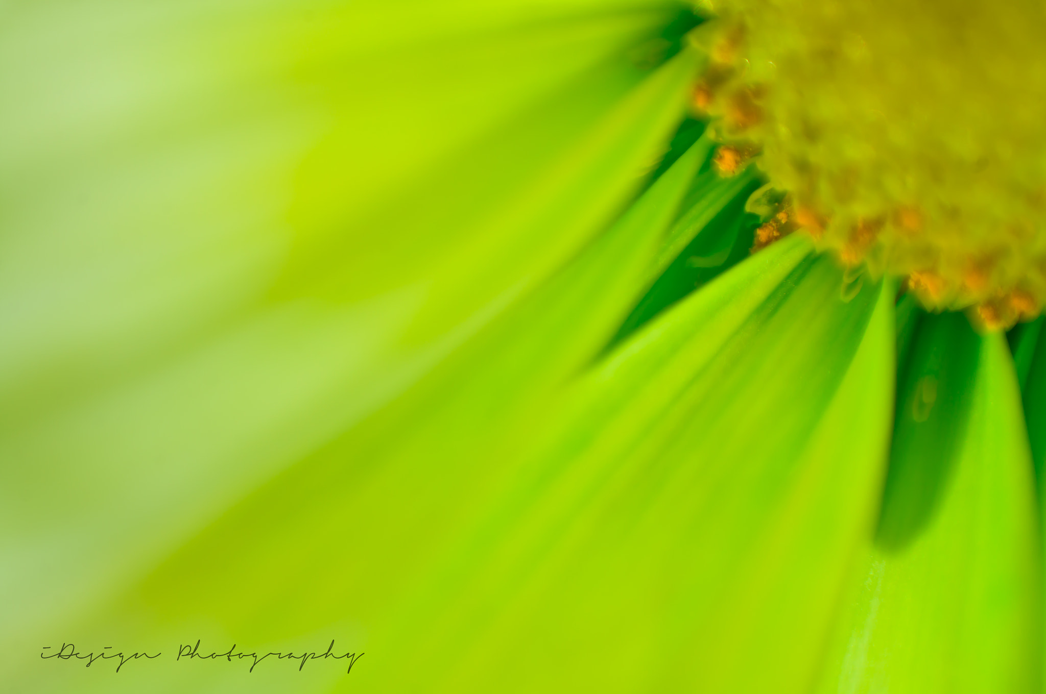 Photograph Chrysanthemum by Kevin Schmunk on 500px
