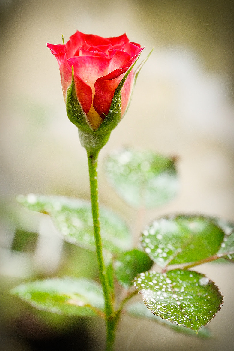 Photograph Rose by saint huang on 500px