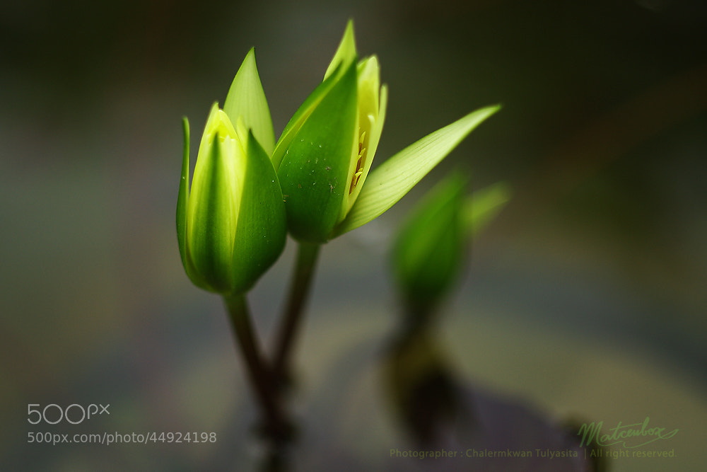 Photograph Devil Lotus by Matcenbox  on 500px
