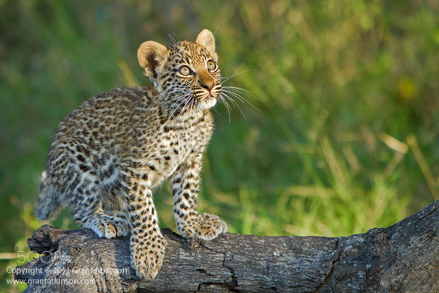 Photograph Leopard Cub, Into the Light by Grant Atkinson on 500px