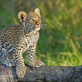 Leopard Cub, Into the Light by Grant Atkinson (Grant_Atkinson)) on 500px.com