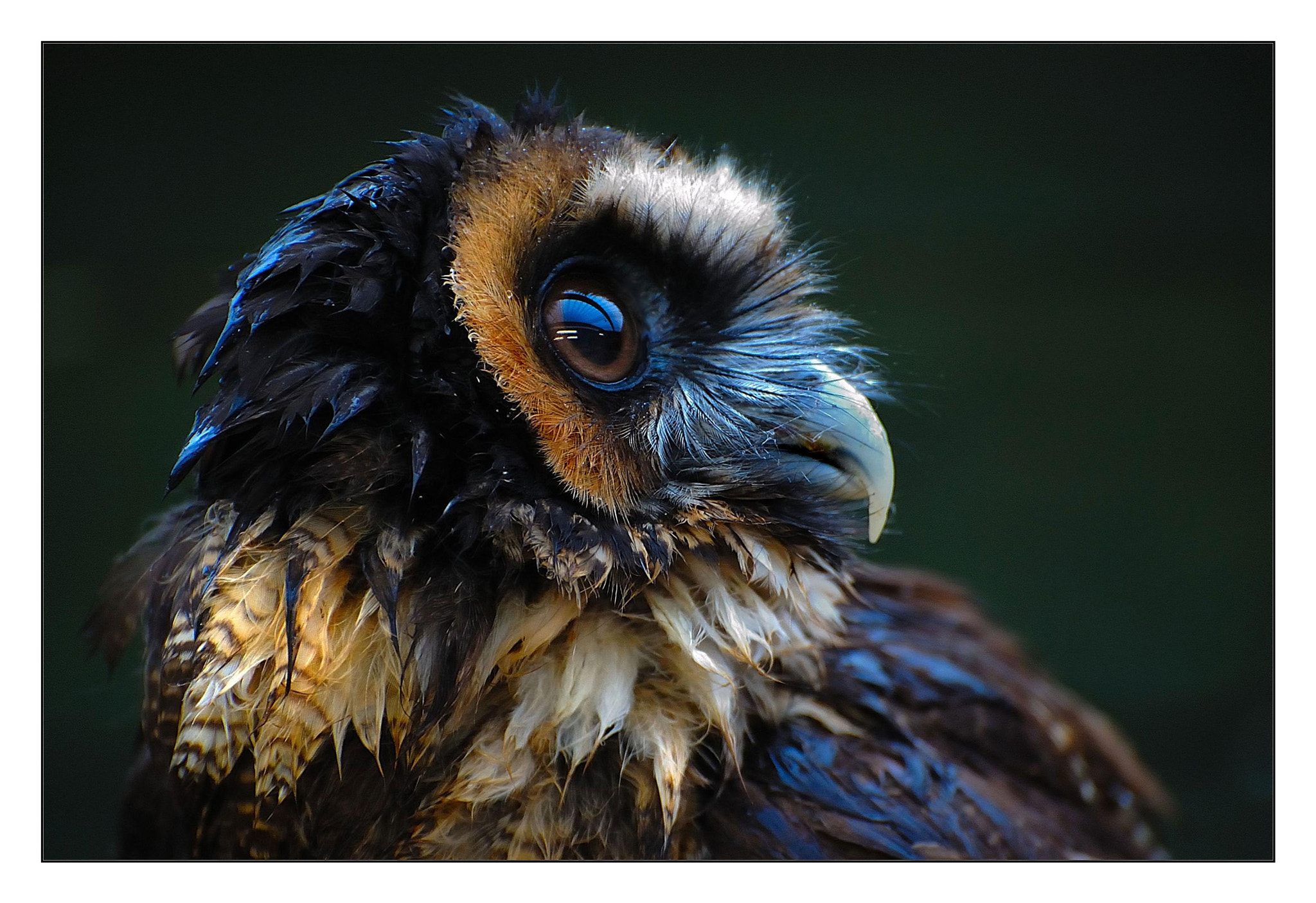 Photograph Brown Wood Owl by Nils Koesters on 500px