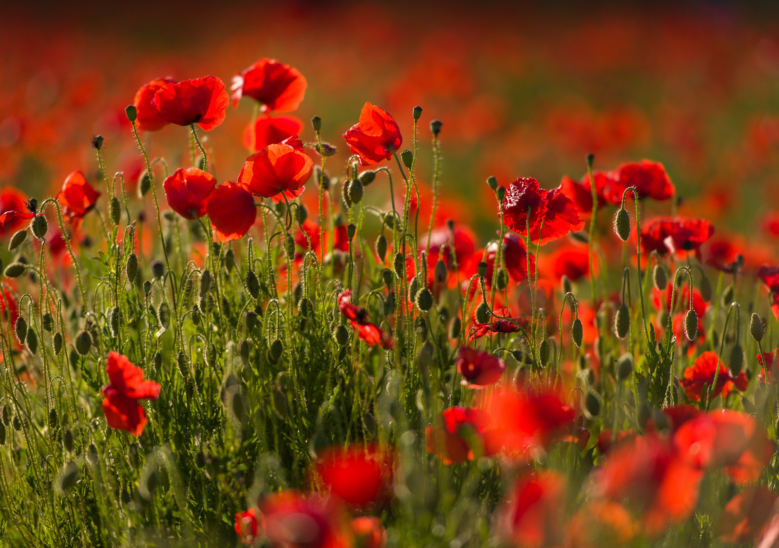 Photograph Red Poppies in Umbria by Hans Kruse on 500px