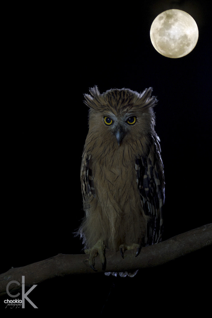 Photograph Owl by CK NG on 500px
