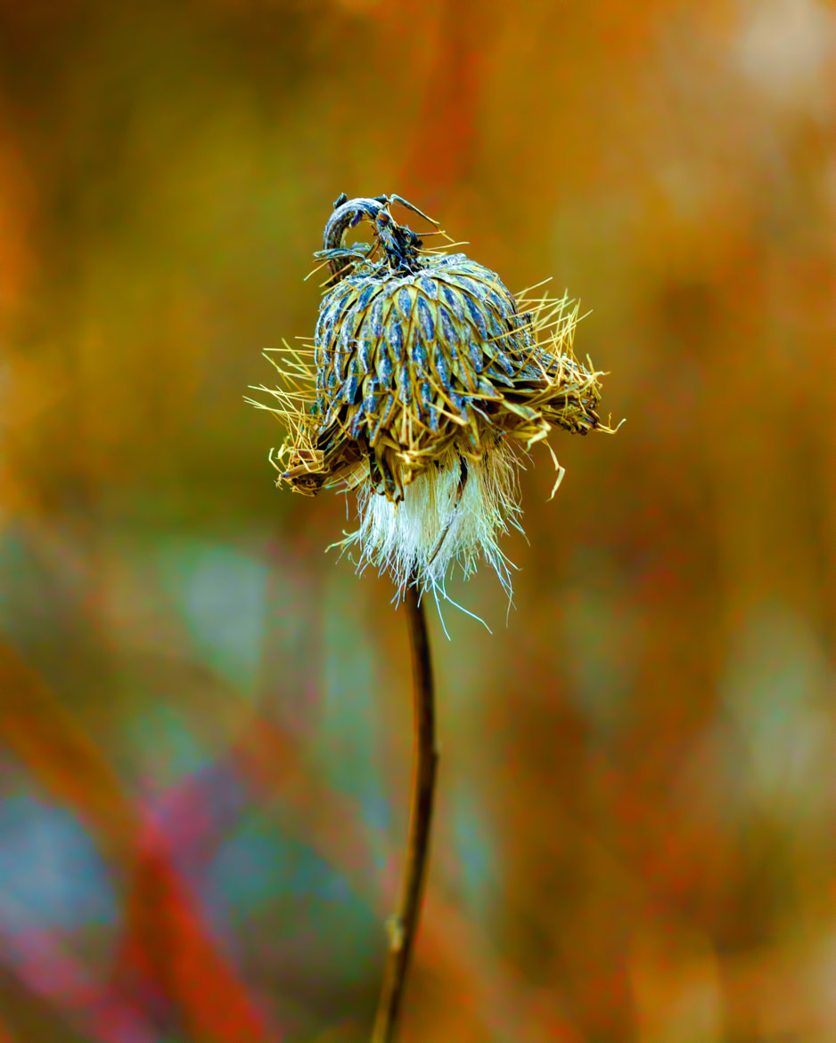 Photograph Isolated Locoweed by Bill Tiepelman on 500px