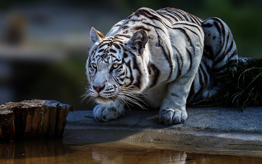Tiger photography -White tiger by Jean-Claude Sch. on 500px.com