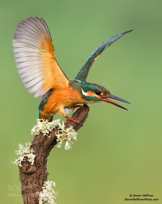 Photograph Common Kingfisher by Doron Hoffman on 500px
