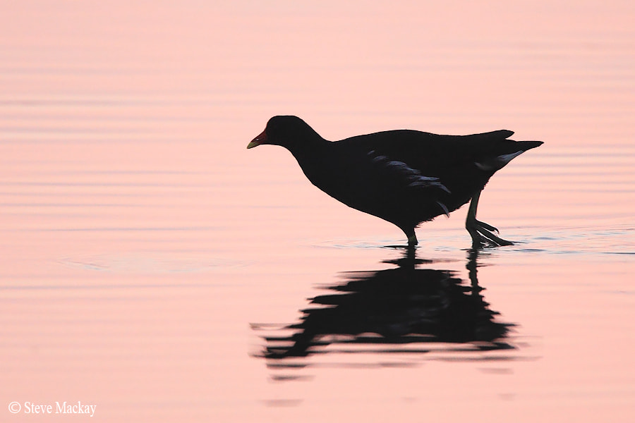 Photograph Moorhen Silhouette by Steve Mackay on 500px