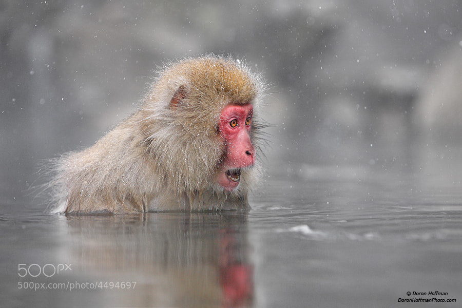 Photograph Japanese Macaque (snow monkey) by Doron Hoffman on 500px