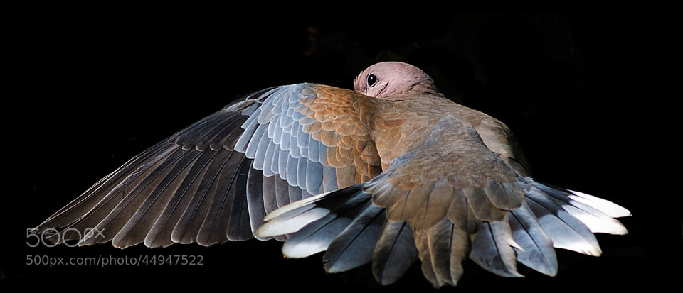 Photograph Dove by Shobin George on 500px
