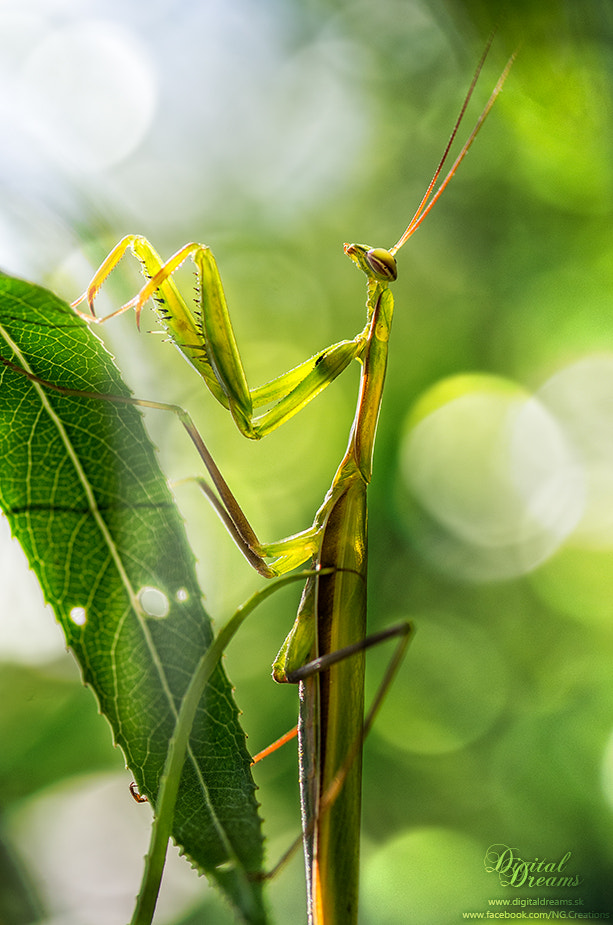 Photograph Praying mantis by Norbert G on 500px