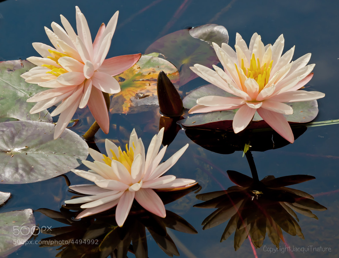 Photograph Water Lilies by Jacqui Trump on 500px