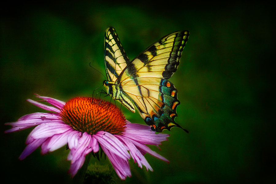 Yellow Swallowtail feeds on a purple coneflower in Cuyahoga Valley National Park.