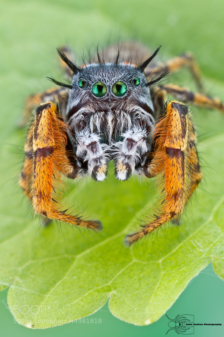 Photograph Phidippus mystaceus by Colin Hutton on 500px