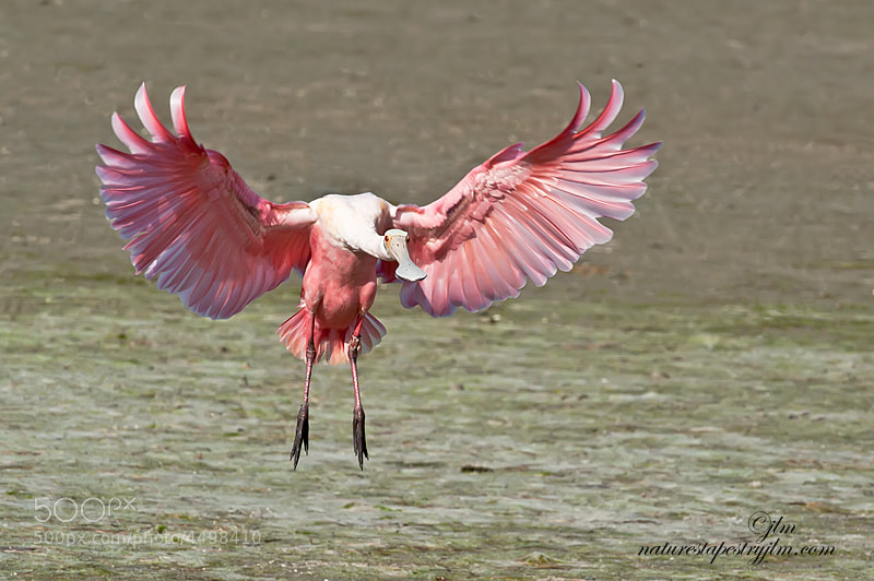 This roseate spoonbill was the last of a group of spoonbills coming in to land on the mud flats.  This pose made me smile becuse I could imagine what he was thinking.  Hey wait up you guys.