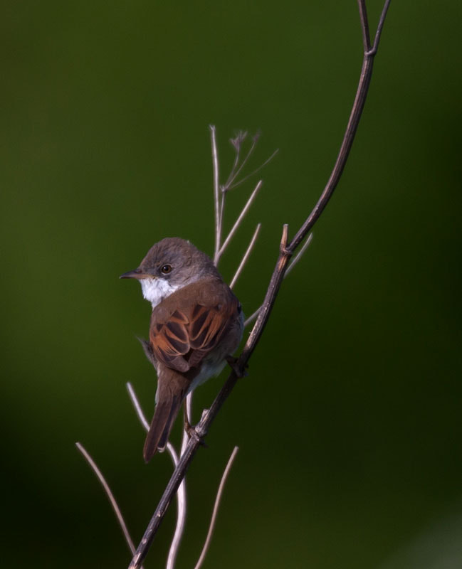 Photograph whitethroat by dave blackwell on 500px