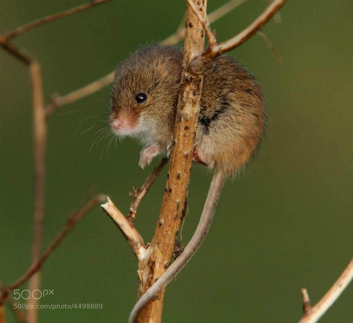 Photograph Harvest Mouse 3 by Ian Rentoul on 500px