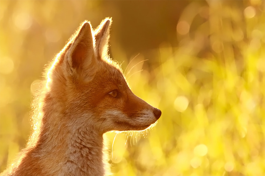 Photograph The Young Fox and the Golden Wheat by Roeselien Raimond on 500px