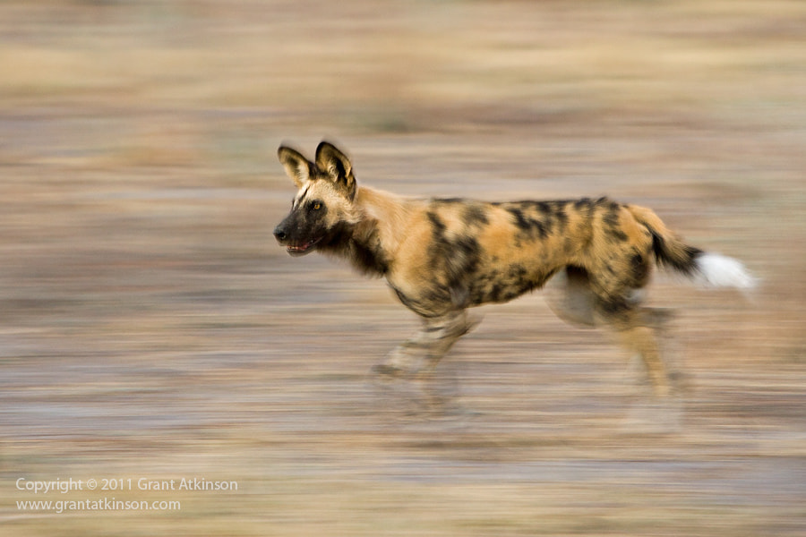 Photograph African Wild Dog On The Run by Grant Atkinson on 500px