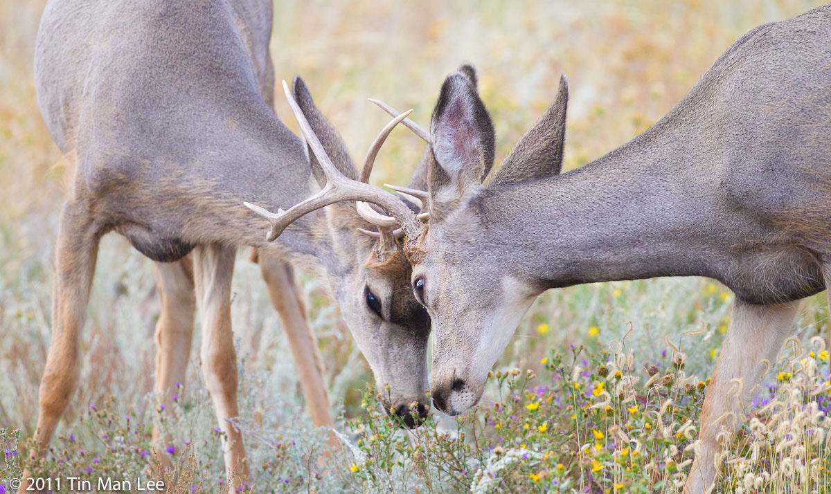Photograph Deer fight by Tin Man on 500px