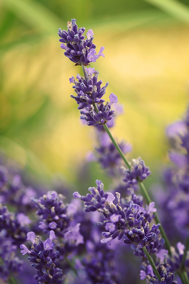Photograph Lavender by Mirka Wolfova on 500px