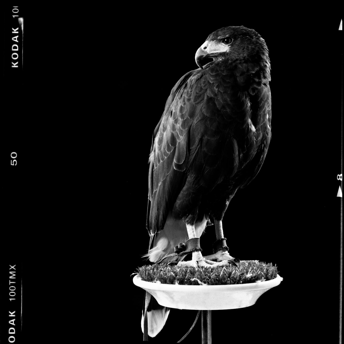 Photograph 12aug11_HARRIS_HAWK_+MODLES_TMAX_100_@_100_08-Edit by melvin mifsud on 500px