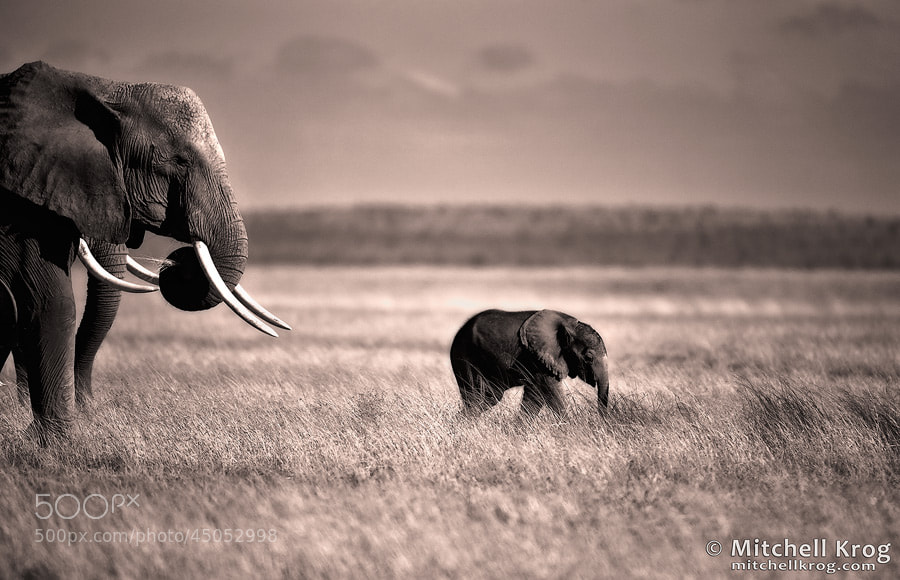 Photograph Leading the Way - Elephants in Amboseli by Mitchell Krog on 500px