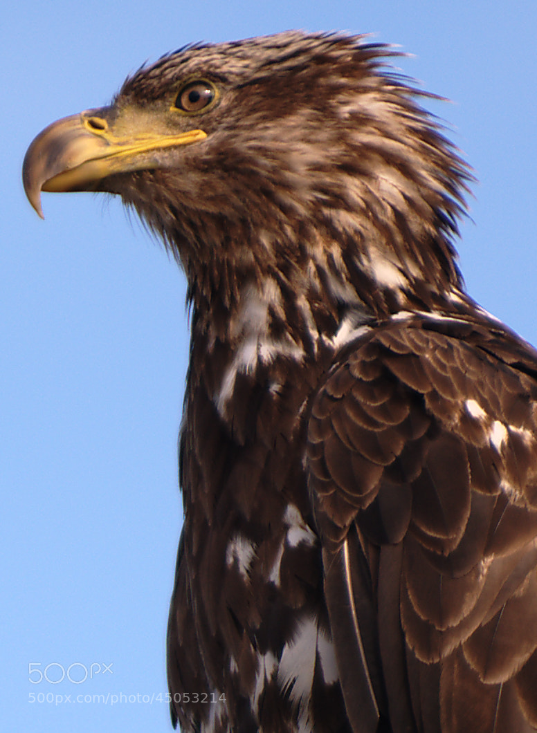 Photograph Maturing Bald Eagle by Jeff Preletz on 500px