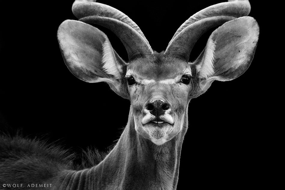 Photograph kudu portrait by Wolf Ademeit on 500px