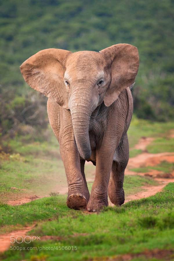 Photograph Elephant on the Run ... by Mario Moreno on 500px