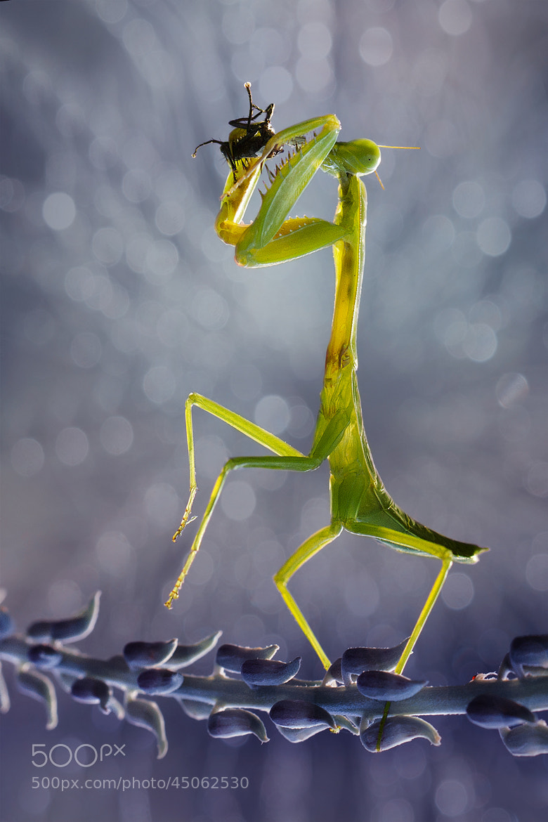 Photograph mantis breakfast by  Hendy Mp on 500px