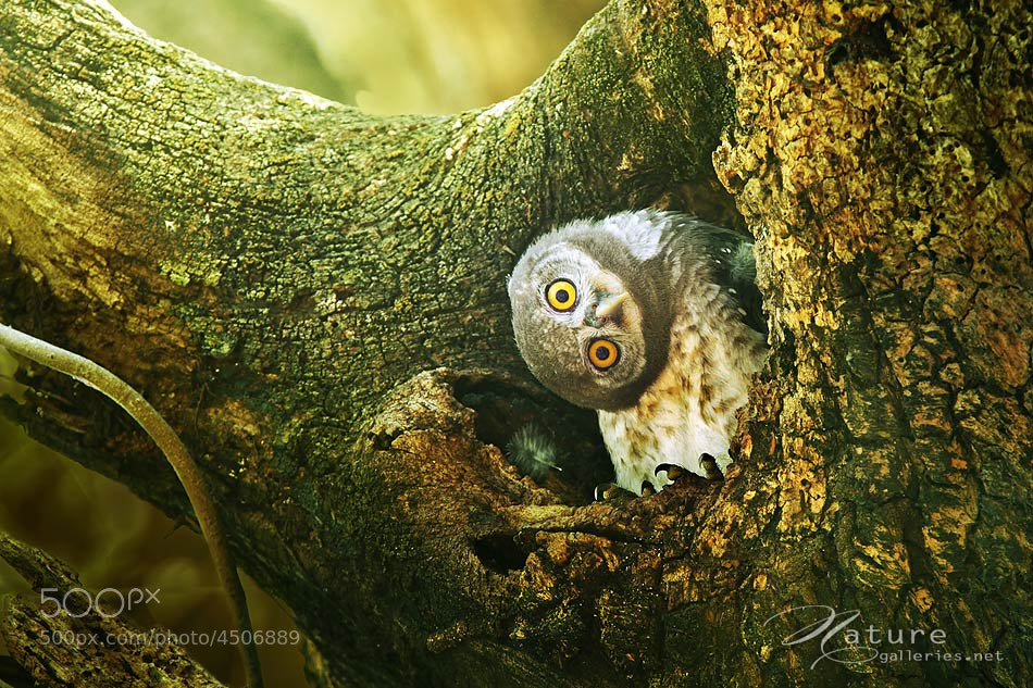 Photograph :-) Spotted Owlet 5 by Sasi - smit on 500px