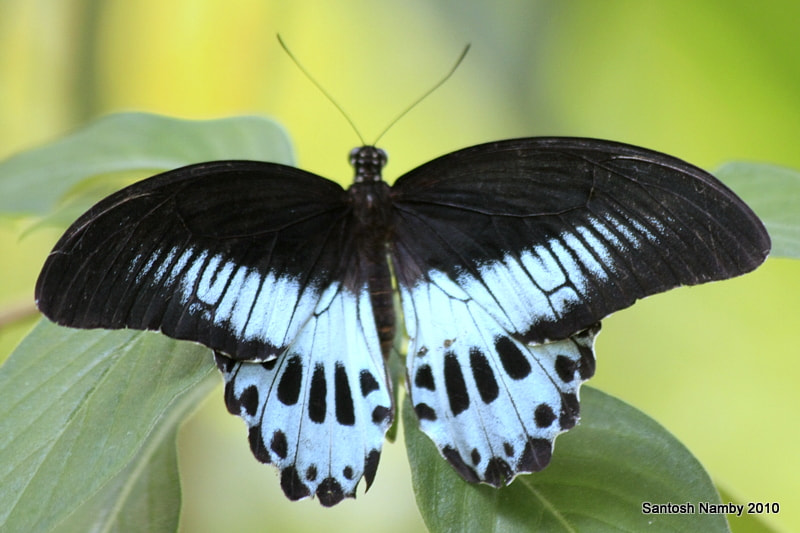 Photograph Blue Mormon by Santosh Namby on 500px