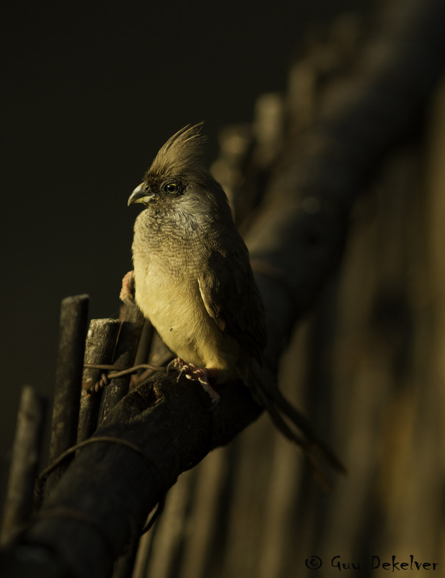 Photograph Speckled Mousebird by Guy Dekelver on 500px