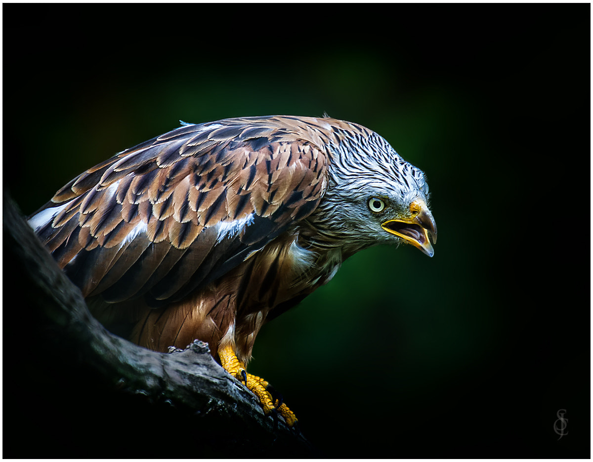 Photograph Red Kite 2 by Jean-Claude Sch. on 500px