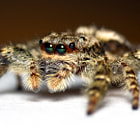 Jumping Spiders have the most advanced eyes of all species of spiders.