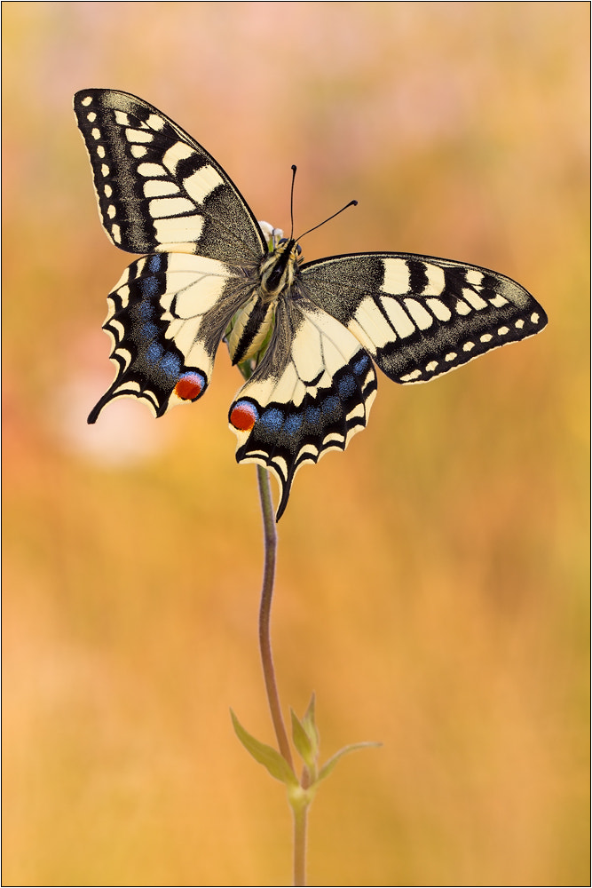 Photograph Swallowtail by Peter Schwarz on 500px