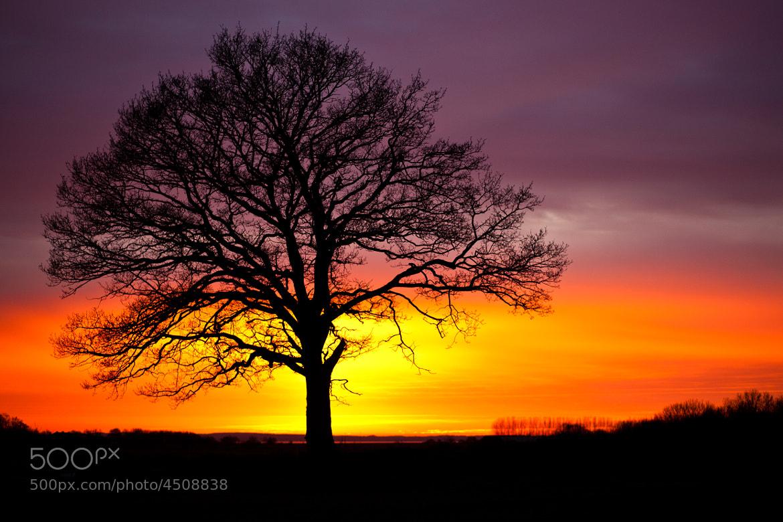 Photograph Sunset oak by Håkan Dahlström on 500px